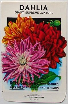 how to look after dahlias